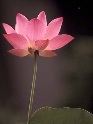 Lotus Flower in Bloom, Cambodia