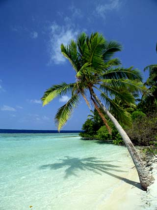 Palm Tree on a Tropical Beach on Embudu in the Maldive Islands, Indian Ocean
