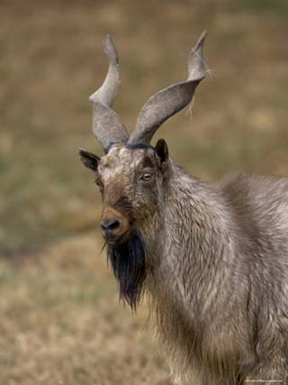 Markhor at the Rolling Hills Zoo