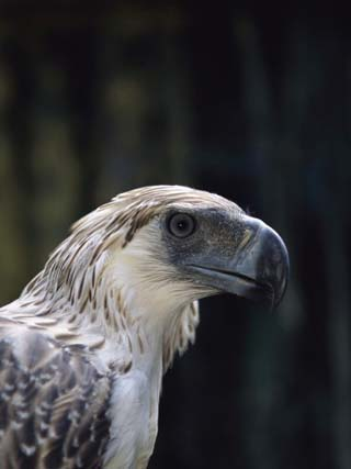 A Close View of the Head and Bill of a Rare Philippine Eagle