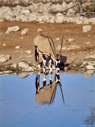 Oryx at Waterhole, Namibia, Africa