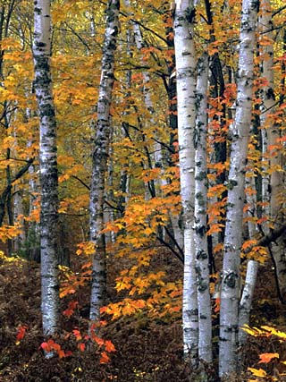 White or Paper Birch Forest in the Fall, Betula Papyrifera, North America