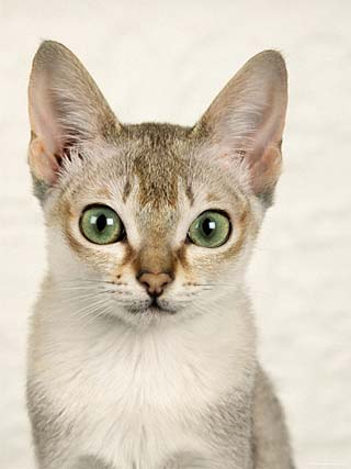 Head Portrait of Singapura Cat