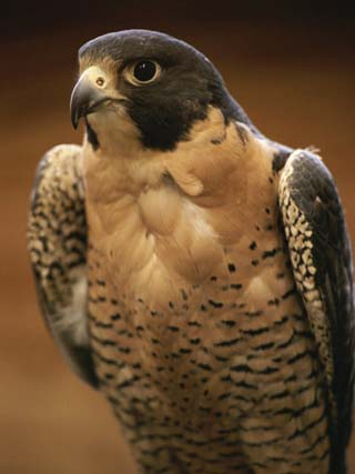 A Portrait of a Peregrine Falcon, Falco Peregrinus
