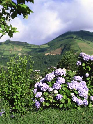 Hydrangeas in Bloom, Island of Sao Miguel, Azores, Portugal