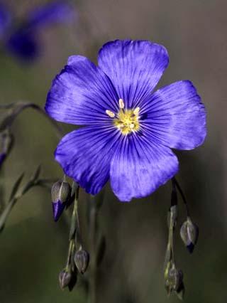 Blue Flax, Belmar Park, Colorado