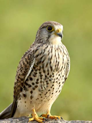 Female Common Kestrel, Serengeti National Park, Tanzania, East Africa, Africa