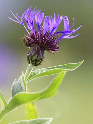 Cornflower, Close up of Flower Head, Scotland