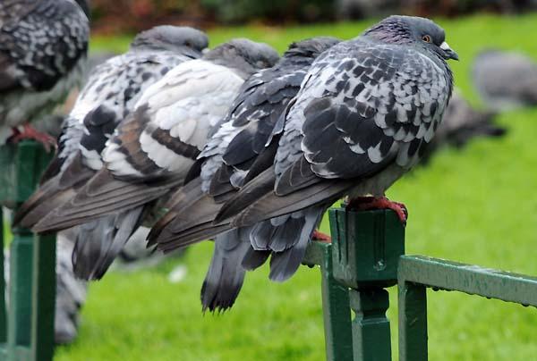 pigeons bergen norway