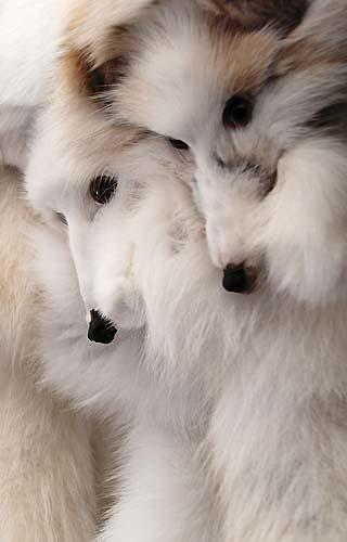 fox pelts