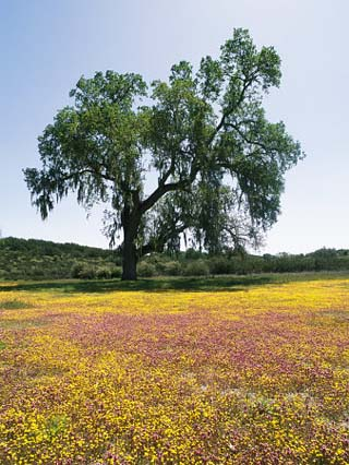 Lone Valley Oak Tree Stands in a Field of Owls Clover