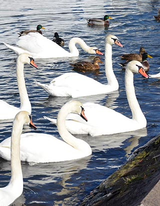 swans on the mozelle river