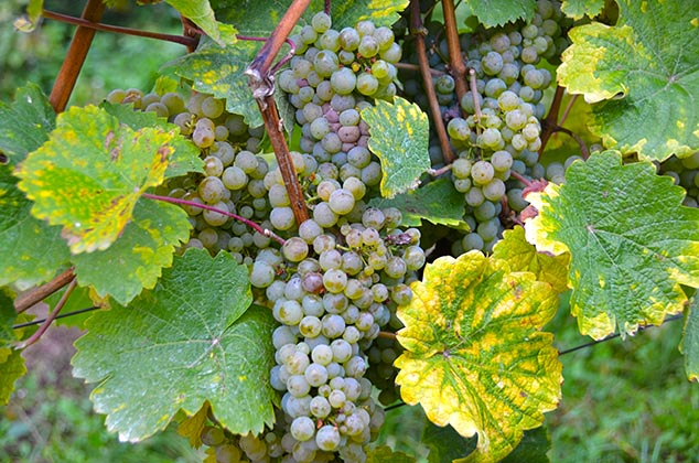 Rudesheim Germany grapes