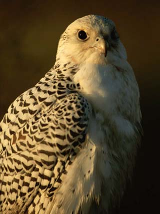 Gyrfalcon (Falco Rusticolus) in its White Phase