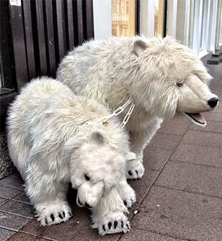 polar bears iceland