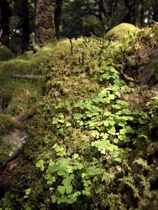 Shamrock Growing in an Ancient Oak Forest, County Kerry, Munster, Republic of Ireland