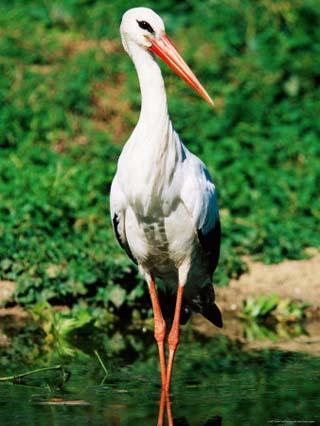 White Stork, Uganda