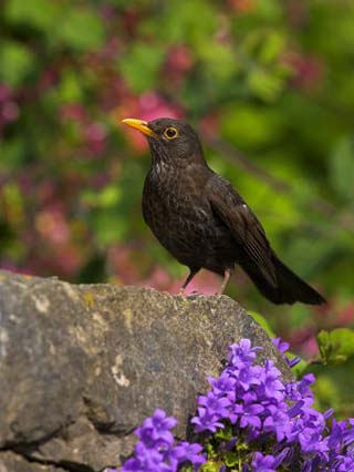 Female Blackbird (Turdus Merula), on Garden Wall in Early Summer, United Kingdom