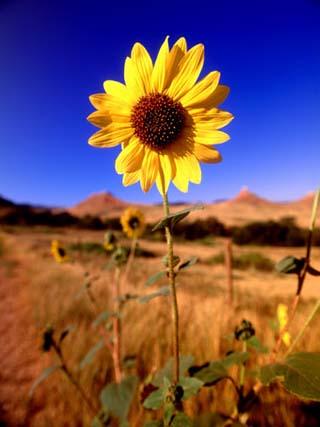 Wild Sunflower Along Dirt Road, SD