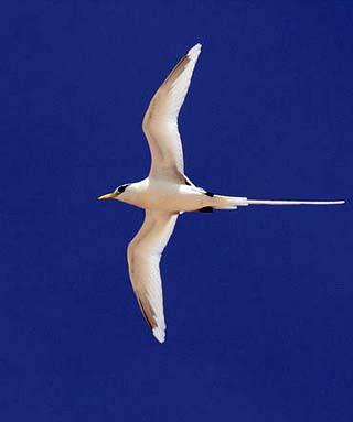 white tailed tropicbird