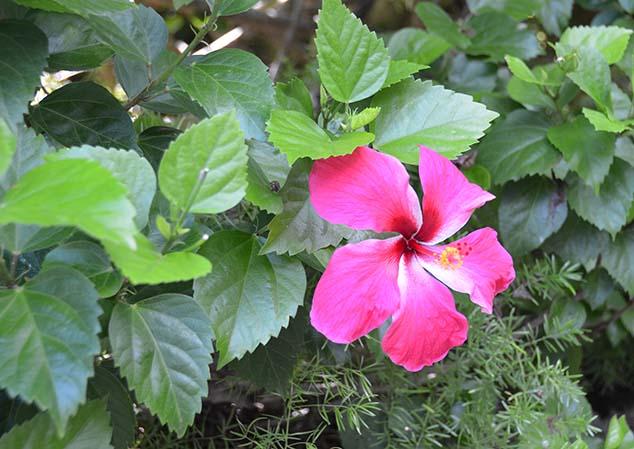 hibiscus flower bermuda