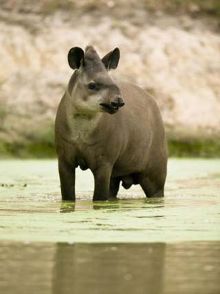 South American Tapir (Tapirus Terrestris) in a River in Pantanal National Park, Brazil