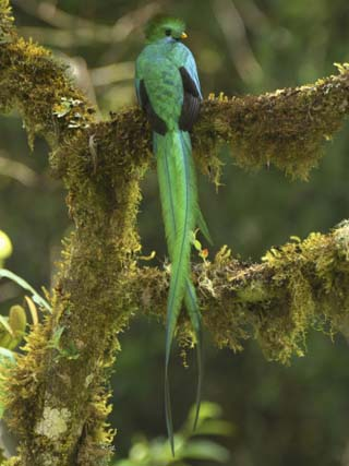Resplendent Quetzal Male Perched on a Lichen Covered Branch (Pharomachrus Mocinno) Cierro La Muerte