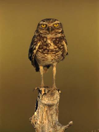 Burrowing Owl (Athene Cunicularia) Perched on Stump, Los Llanos, Venezuela