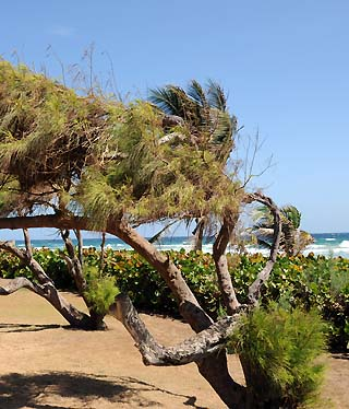 wind blown trees barbados