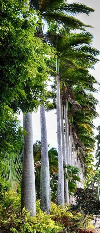 palm trees barbados