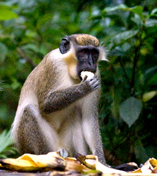 green monkey barbados