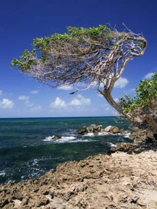 Divi Divi Tree, Cudarebe Point, Aruba, West Indies, Dutch Caribbean, Central America