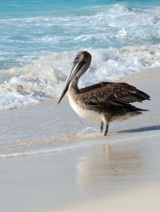 cancun pelican