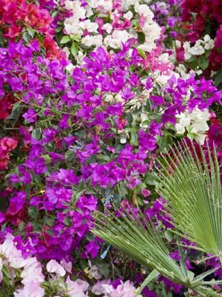 Bougainvillea Flowers, San Miguel De Allende, Guanajuato State, Mexico