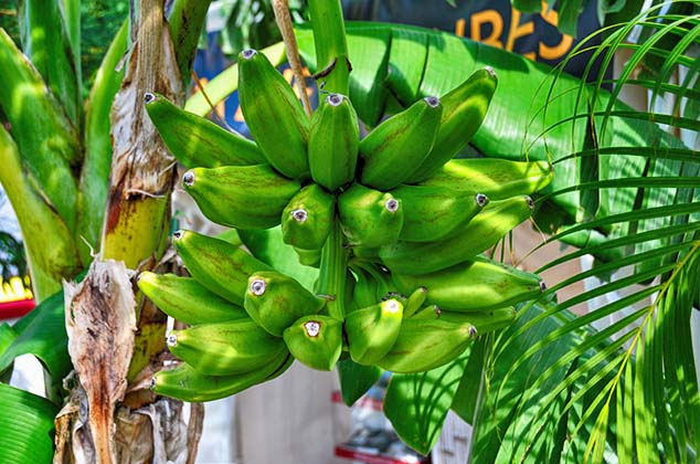 bananas guadeloupe