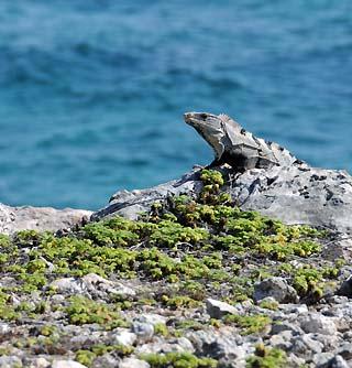 iguana on isla mujeres