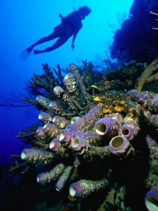 Diver with Purple Tube Sponge off the Coast of Jamaica, Jamaica
