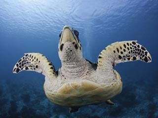 Hawksbill Turtle (Eretmochelys Imbricata), Bonaire, Netherland Antilles, Caribbean
