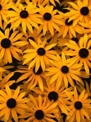 Black Eyed Susan Flowers (Rudbekia Hirta) at Ballard Locks, Seattle, USA