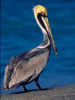 Male Brown Pelican in Breeding Plumage, Sanibel Island, Florida, USA