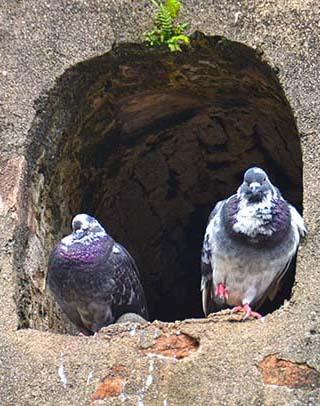 pigeons old san juan