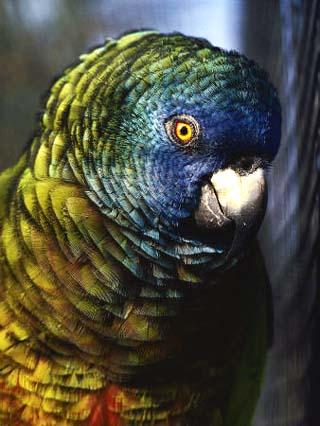 Saint Lucia Parrot