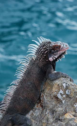 iguana st. thomas