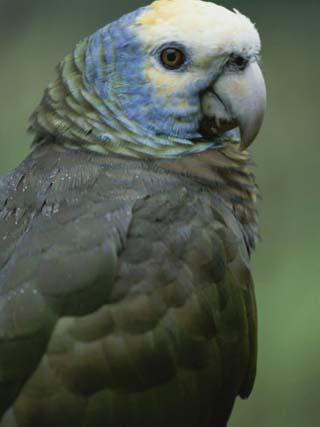 A Portrait of a St. Vincent Parrot (Amazon Guildindii)