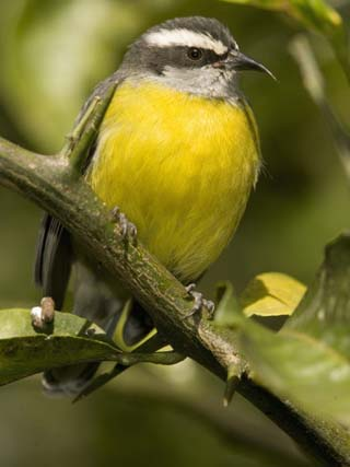 Bananaquit, Coereba Flaveola, Northern South America