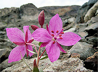 national flower of greenland