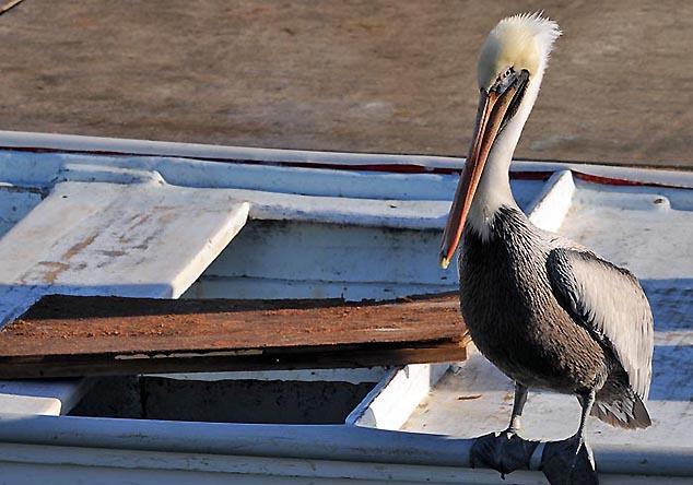 pelican cabo san lucas