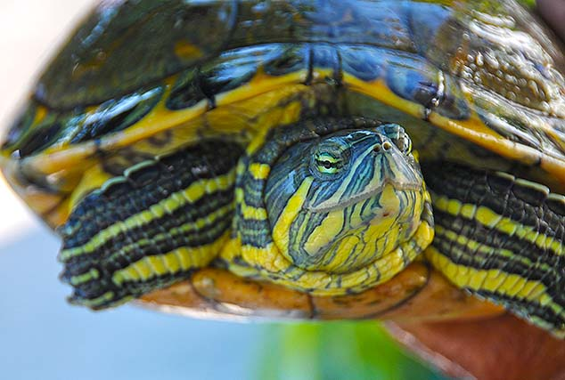 green turtle isla mujeres