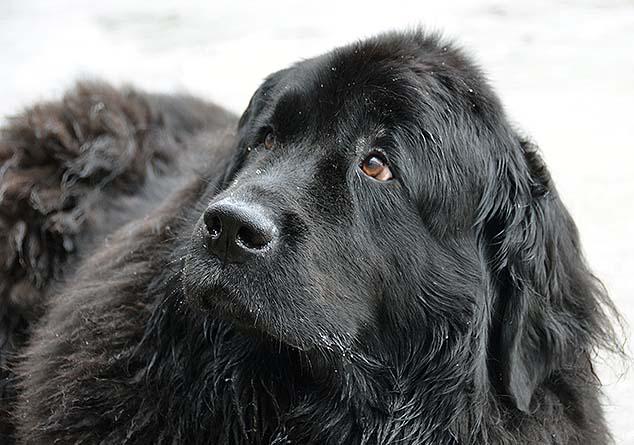 newfoundlanddog
