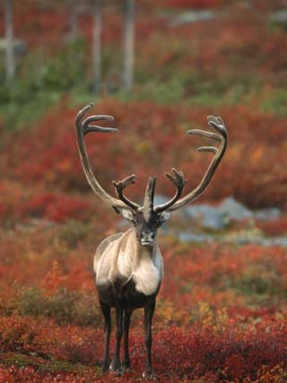 Barren-Ground Caribou on Autumn Tundra near Whitefish Lake, NWT, Canada